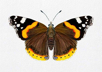 Red Admiral Butterfly Watercolour Signed Limited Edition Print from Original Painting Vanessa atalanta Wildlife Artwork