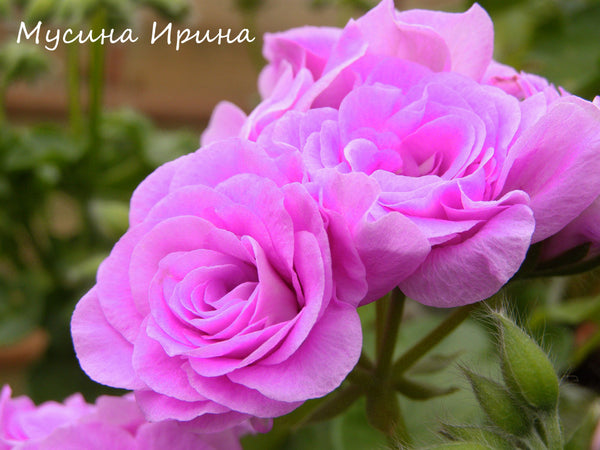 Summer Rose Lilac