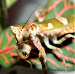 Indian Flower Mantis Caresheet (Creobroter pictipennis) | PanTerra Pets