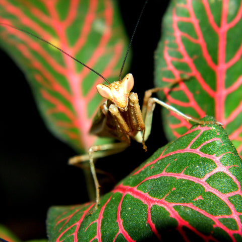 Indian Flower Mantis (Creobroter pictipennis) adult male