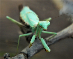 Carolina Mantis (Stagmomantis carolina) adult female