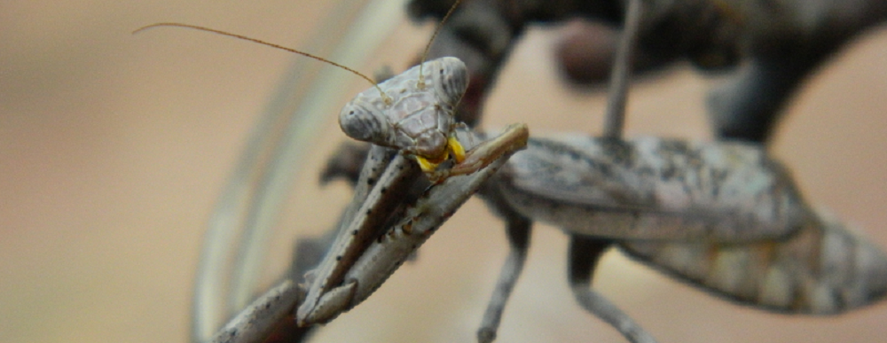Carolina mantis adult female gray