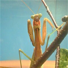 Chinese Mantis Adult Male