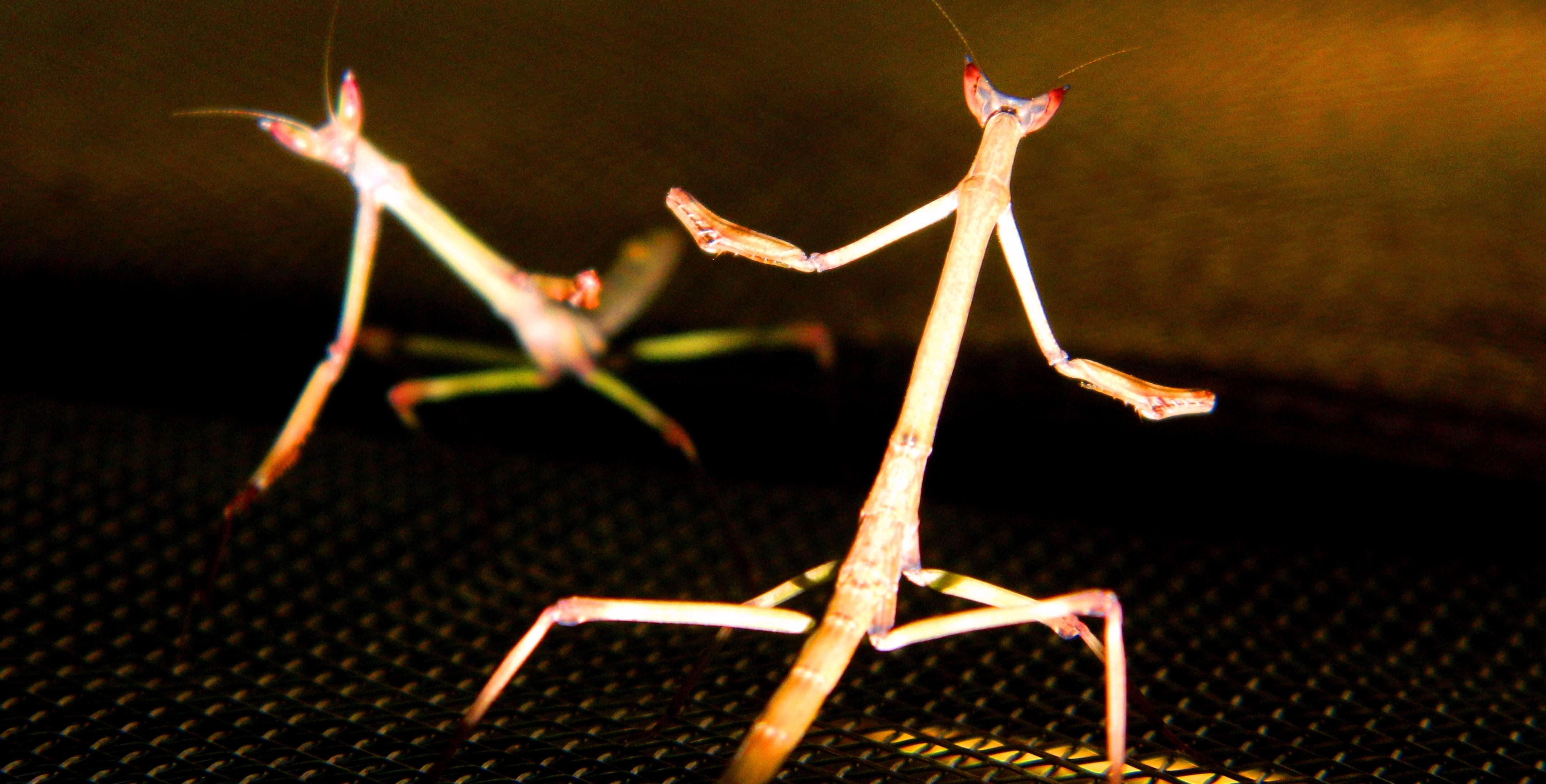 Giant African Stick Mantises (Heterochaeta sp.) Fighting