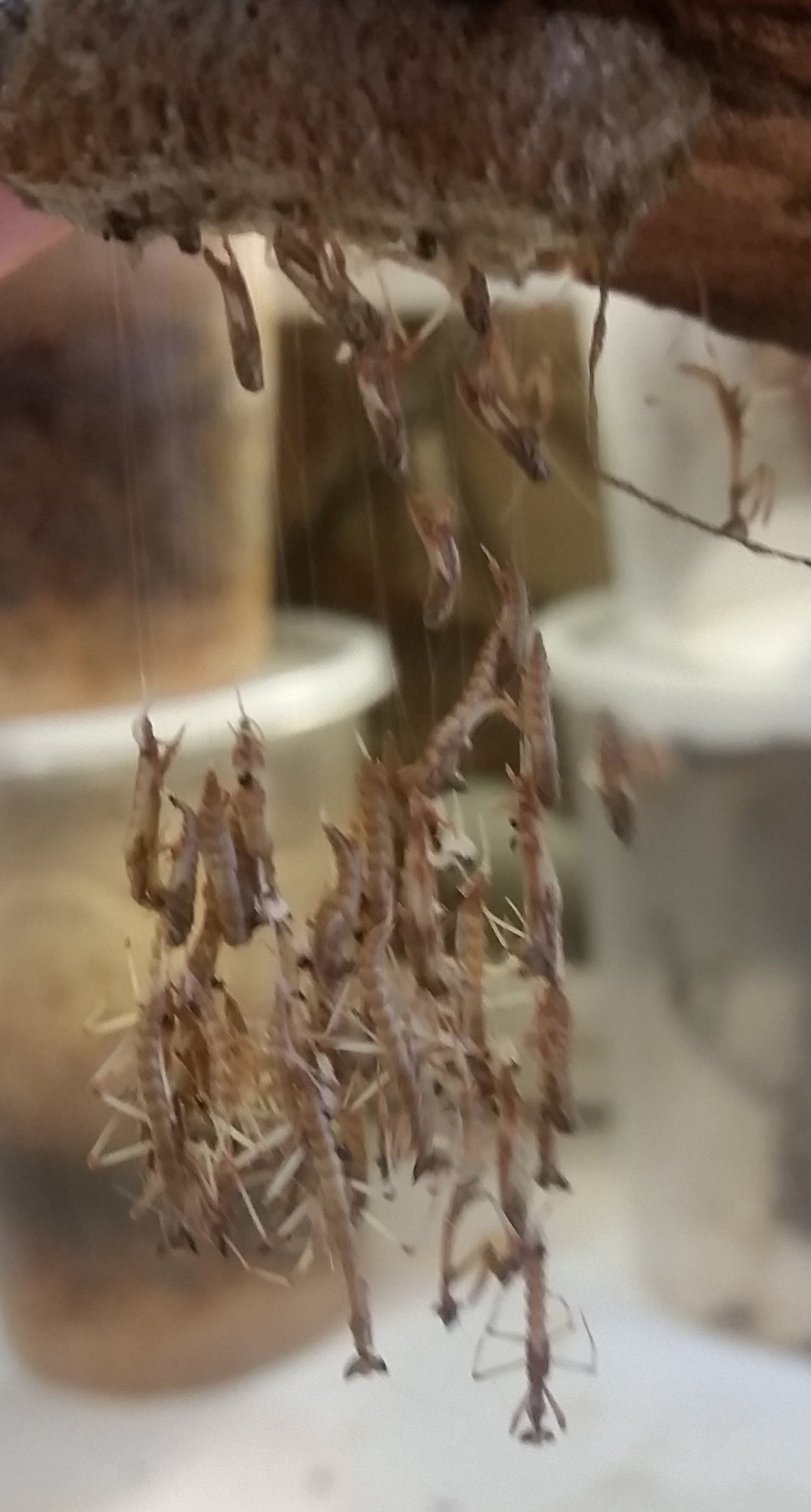 Giant African Stick Mantis (Heterochaeta sp.) nymphs hatching from ootheca | PanTerra Pets