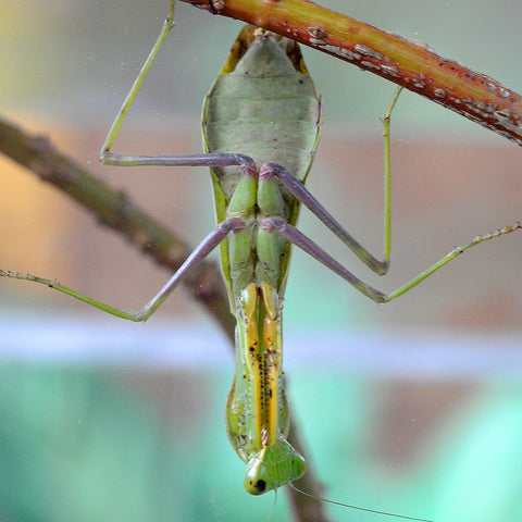 Giant Asian Mantis (H. membranacea) Adult | PanTerra Pets