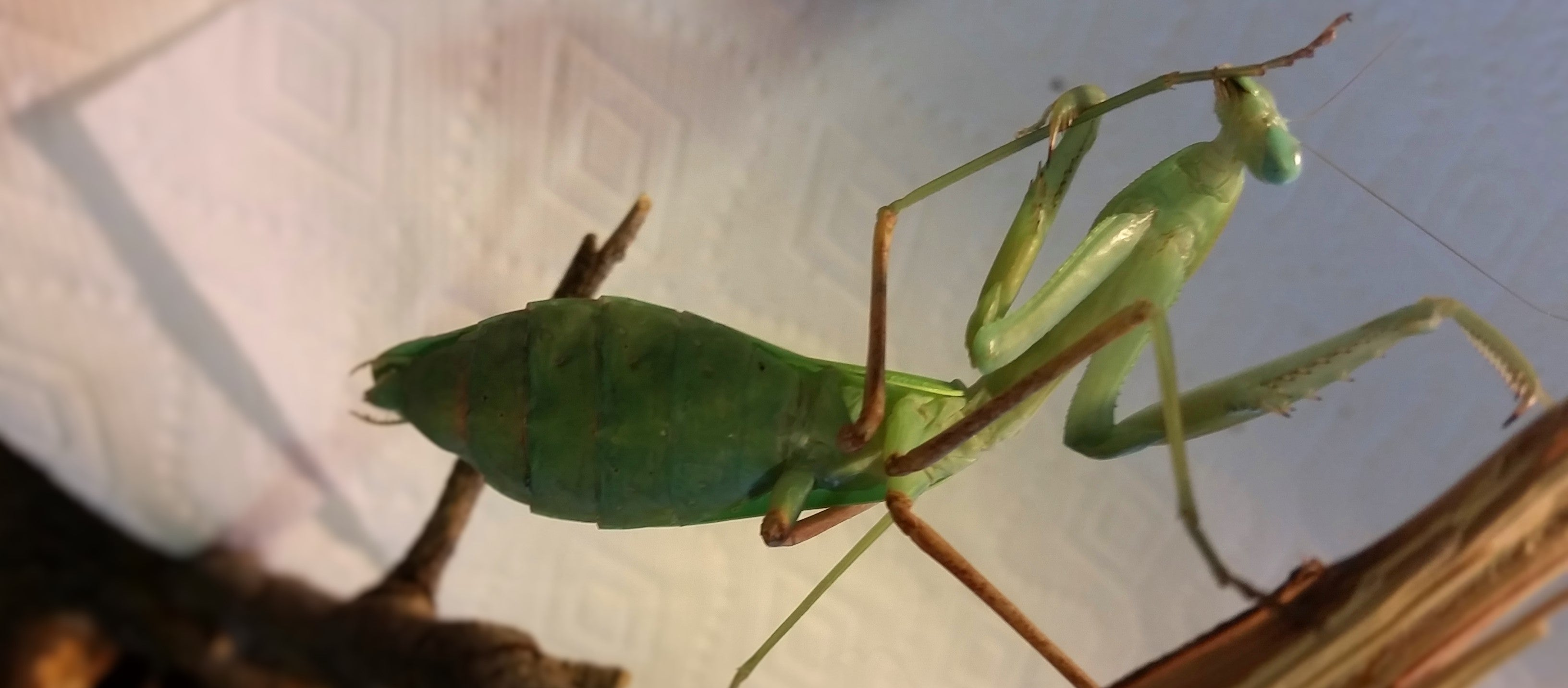 Giant Asian Mantis (Hierodula membranacea) cleaning foot | PanTerra Pets