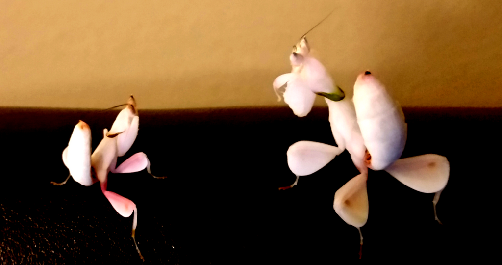 Orchid Mantis (H. Coronatus) Male and Female
