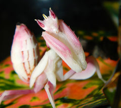 Orchid Mantis (Hymenopus coronatus) Purple Female
