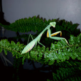 Golden Giant Asian mantis (H. venosa)