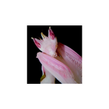 Buy Orchid Praying Mantis Art Print/ Poster For Sale | PanTerra Pets