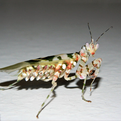 Spiny Flower Mantis (P. wahlbergii)