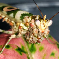 Spiny Flower Mantis Adult Male