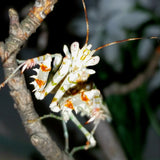 Spiny Flower Mantis (Pseudocreobotra wahlbergii) adult male