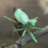 Buy Carolina (Stagmomantis carolina) mantis For Sale | PanTerra Pets