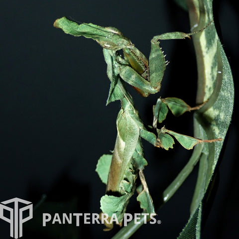 Buy Ghost Mantis (P. paradoxa) For Sale at PanTerra Pets