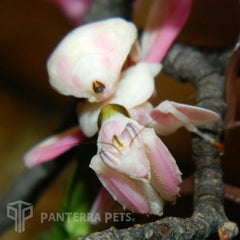 Sub-adult female Orchid mantis, Hymenopus coronatus