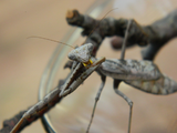 Carolina Mantis (S. carolina)