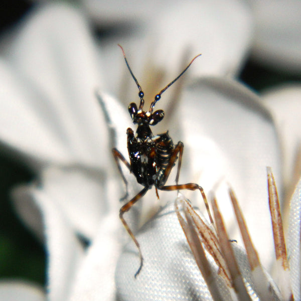 Spiny Flower Mantis (Pseudocreobotra wahlbergii) L3 nymph