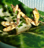 Indian Flower Mantis (C. pictipennis)