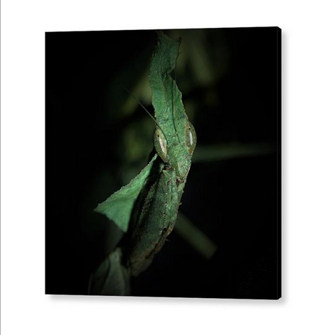 Buy Ghost Praying Mantis Acrylic Print For Sale | PanTerra Pets