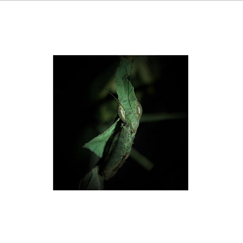 Buy Ghost Praying Mantis Art Print/ Poster For Sale | PanTerra Pets