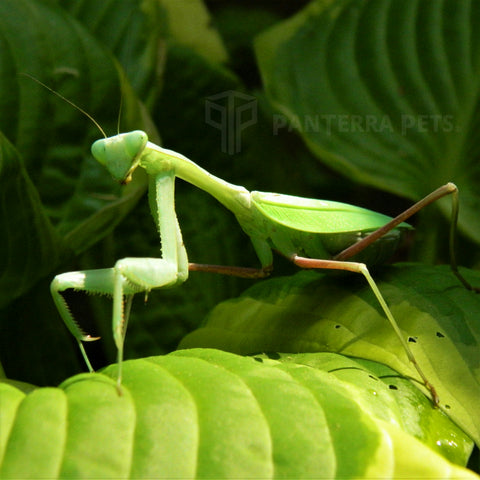 Giant Asian Mantis (H. membranacea)