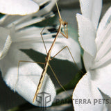 Indian Grass Mantis (S. Bicornis)