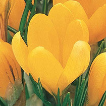 Flower Essence Feature: Crocus