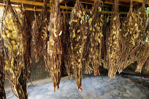 Cocoons used for the production of native Cambodian golden silk
