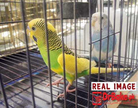 2 Pc Australian Parrot With Cage (Only For Lahore)