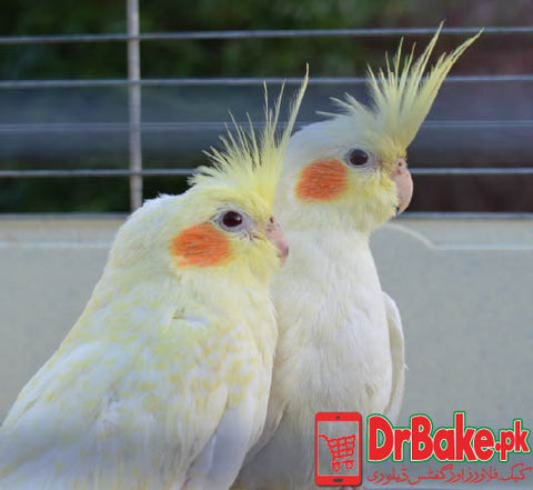 2 Pc Lutino cockatiel With Cage (Only For Lahore)
