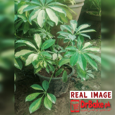 Schefflera Plant (Only For Islamabad & Rawalpindi)