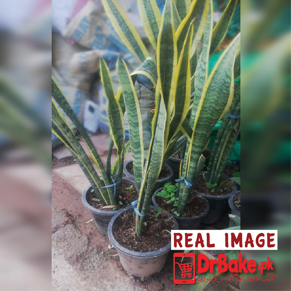 Snake Plant (Only For Islamabad & Rawalpindi)