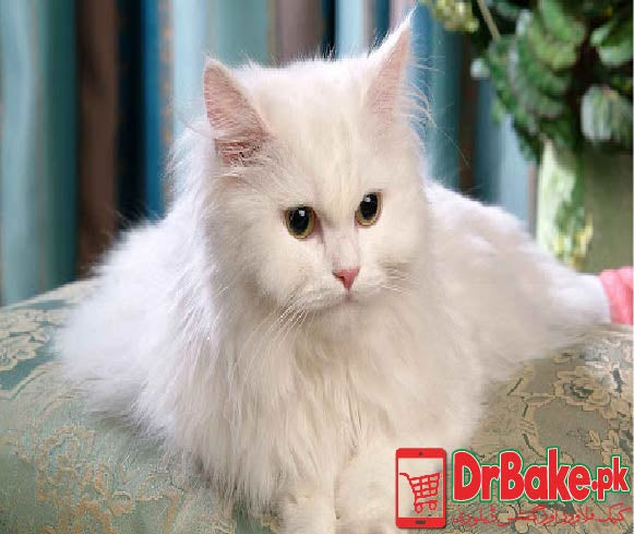 Persian Cat (Only For Lahore)