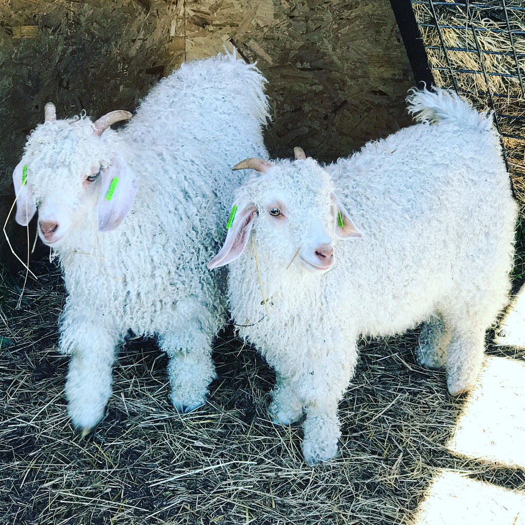 Welcome to the flock.....Angora Goat kids!