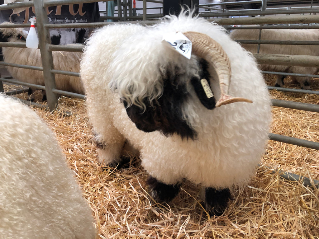New Forest Eden Shines at the Blacknose Beauties Show in Carlisle 23rd - 24th August 2019!