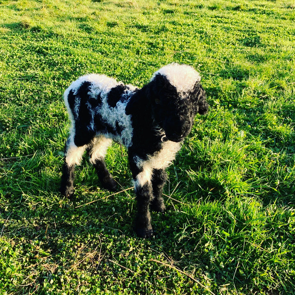 We have our first SUPER-RARE Valais Blacknose Spitti Lamb born!
