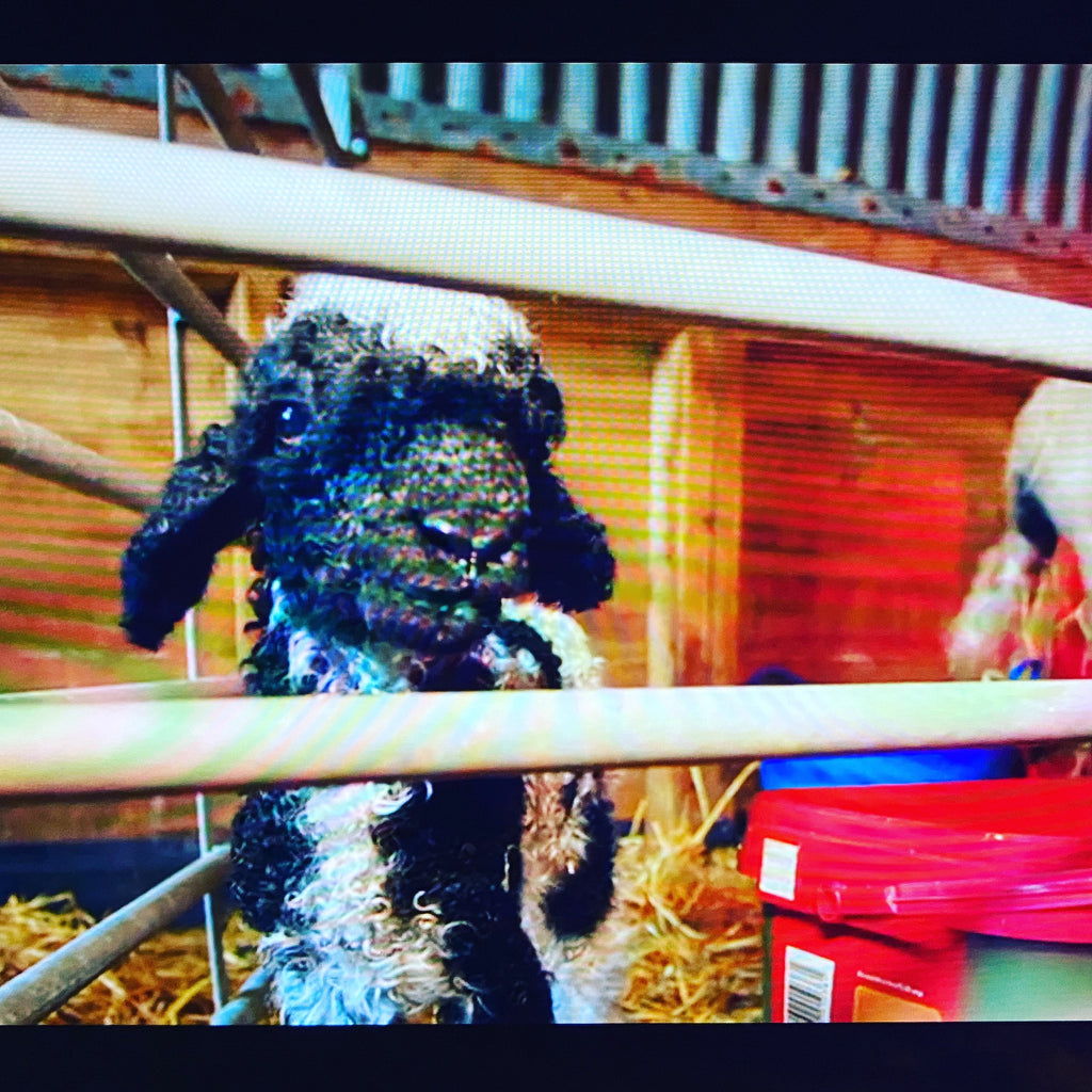 New Forest Valais Blacknose Star on TV!