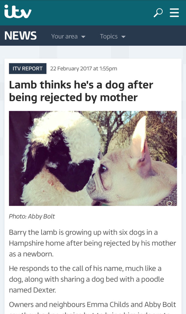 #BarryTheLamb stars on ITV News!