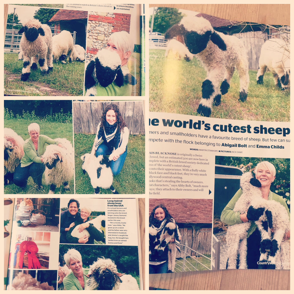 New Forest Valais Blacknose Featured in NFU Countryside Magazine's December 2017 edition!