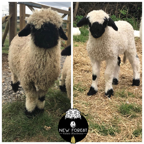 Buy a Valais Blacknose Sheep – New Forest Valais Blacknose
