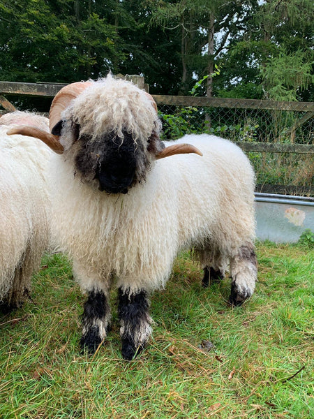 "Semen from Genotype 1 (ARR/ARR) Ram ""Highland Ferocious"" qualified for export to EU"