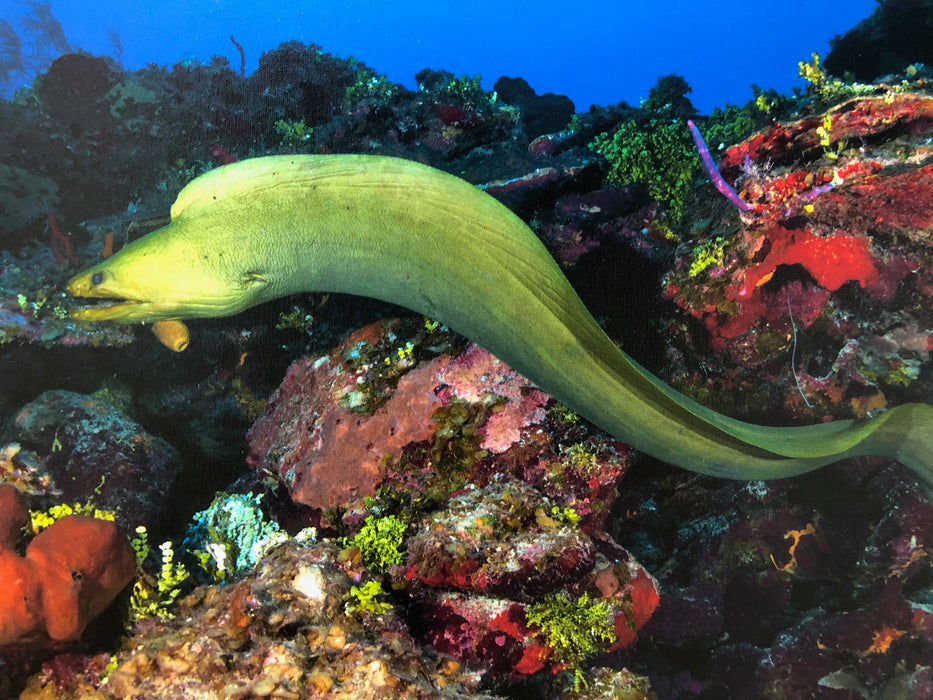 Deano Cook Green Moray Eel - 2:3 / 36''W x 24''H