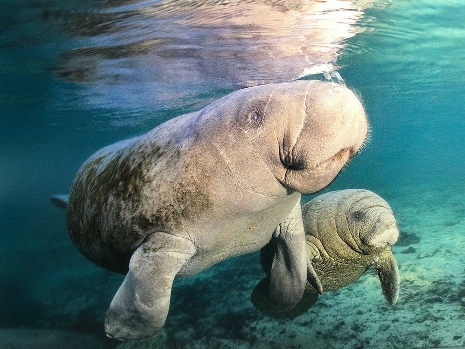 Deano Cook Manatee Mother And Child- 2:3 / 54''W x 36''H