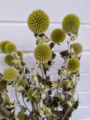 Green Echinops - Dried -4oz _sola_wood_flowers
