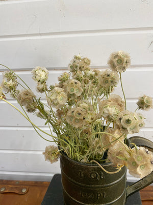 Scabiosa - Dried/Natural _sola_wood_flowers
