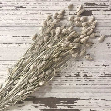 Phalaris- White - 4 oz _sola_wood_flowers