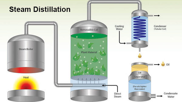 extracting essential oils steam distillation
