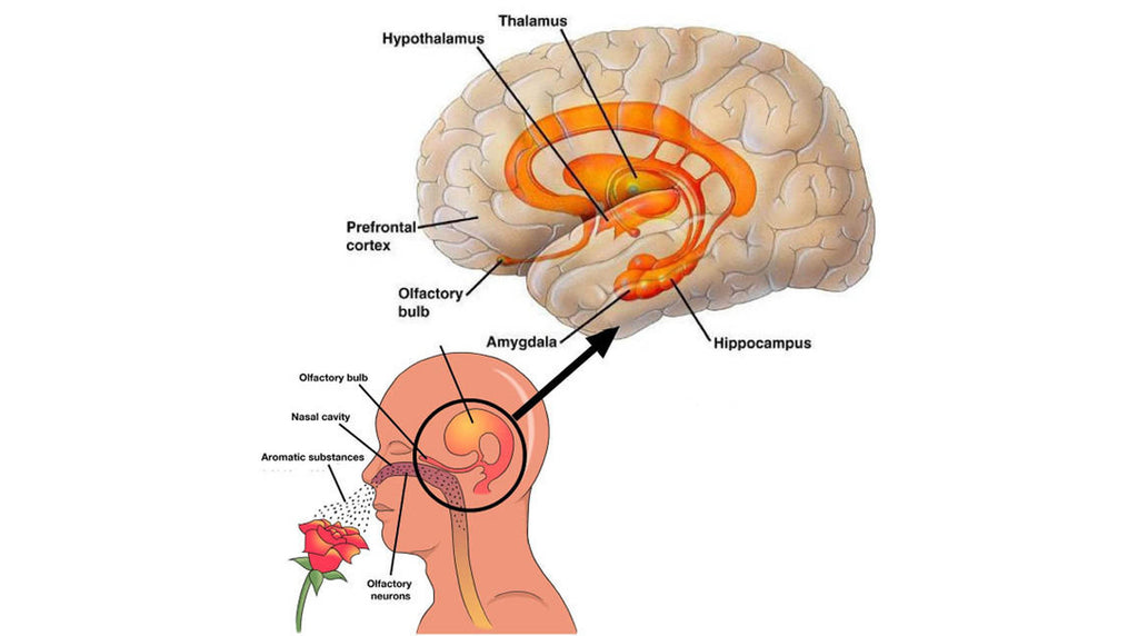 how aromatherapy works on limbic system